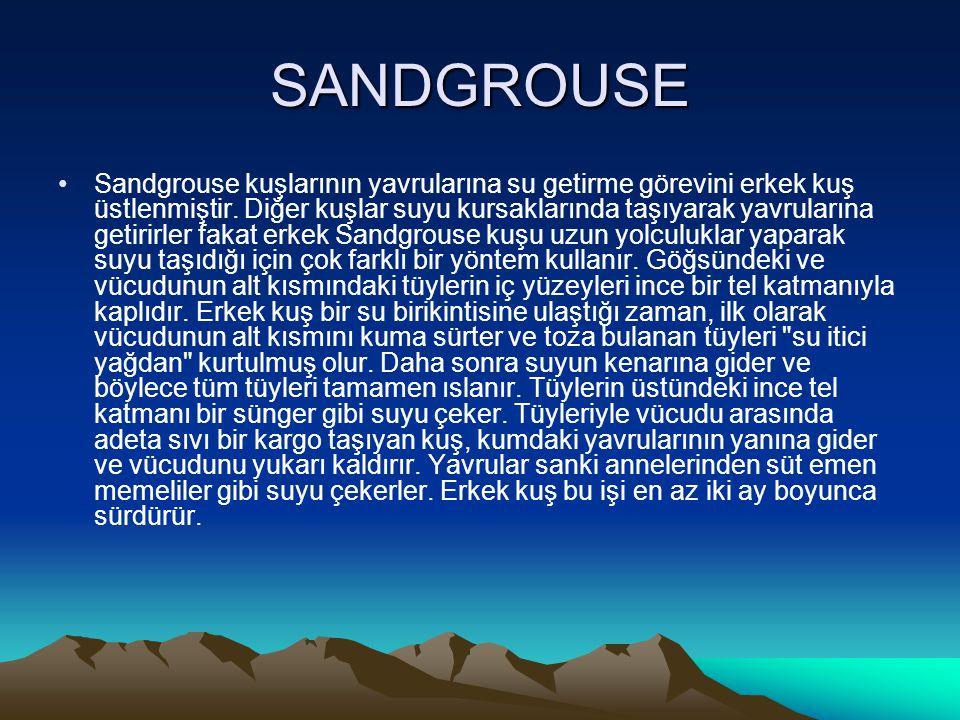 SANDGROUSE •Sandgrouse kuşlarının yavrularına su getirme görevini erkek kuş üstlenmiştir. Diğer kuşlar suyu kursaklarında taşıyarak yavrularına getiri