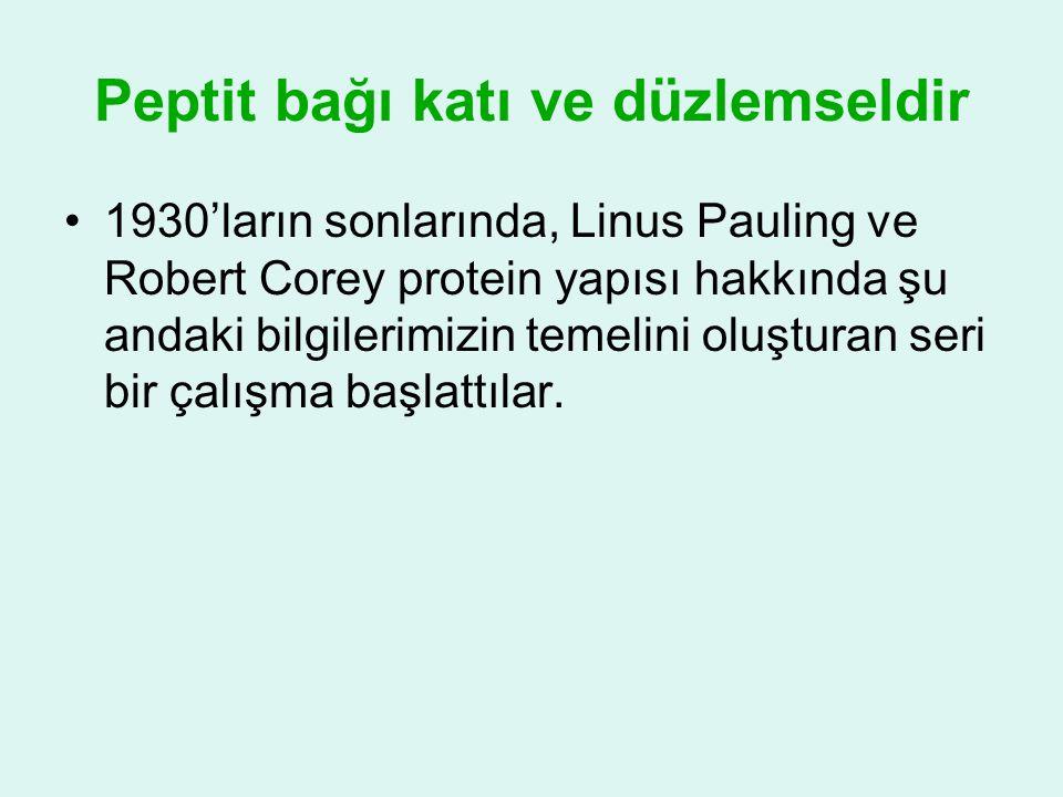 Peptit bağı katı ve düzlemseldir •1930'ların sonlarında, Linus Pauling ve Robert Corey protein yapısı hakkında şu andaki bilgilerimizin temelini oluşt