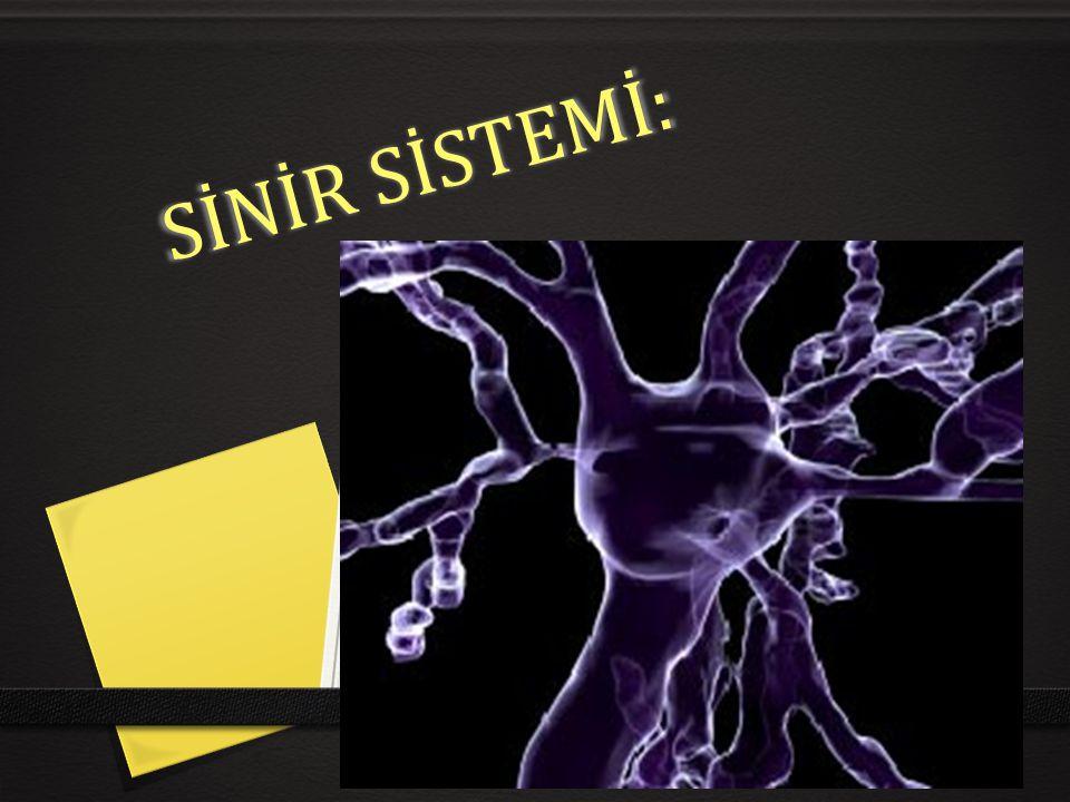 0 Sempatik ve parasempatik sistemlerin özellikleri- karşılaştırılması 0 1-Sempatik nöronlar omuriliğin göğüs ve bel bölgesinden çıkar, 0 *- parasempatik nöronlar ise beyin(Medulla oblangata) ve sağrı bölgesinden çıkar.