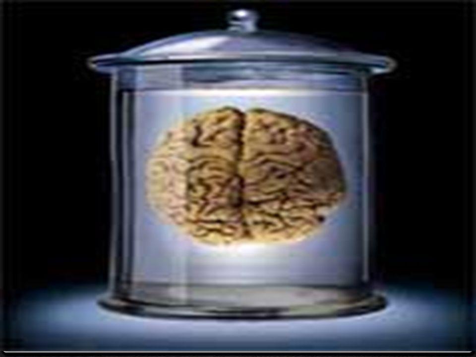 0 A)Ön beyin : 0 I-Uç beyin 0 Koklama lobu ve beyin yarım kürelerinden oluşur.
