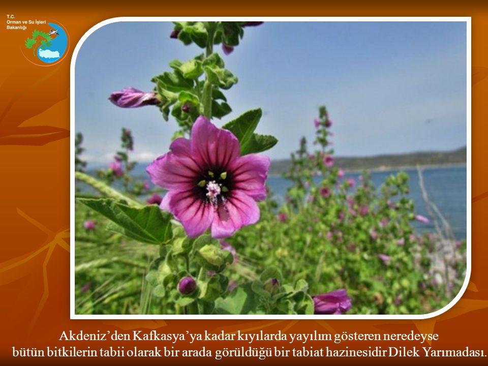 Akdeniz'den Kafkasya'ya kadar kıyılarda yayılım gösteren neredeyse bütün bitkilerin tabii olarak bir arada görüldüğü bir tabiat hazinesidir Dilek Yarı