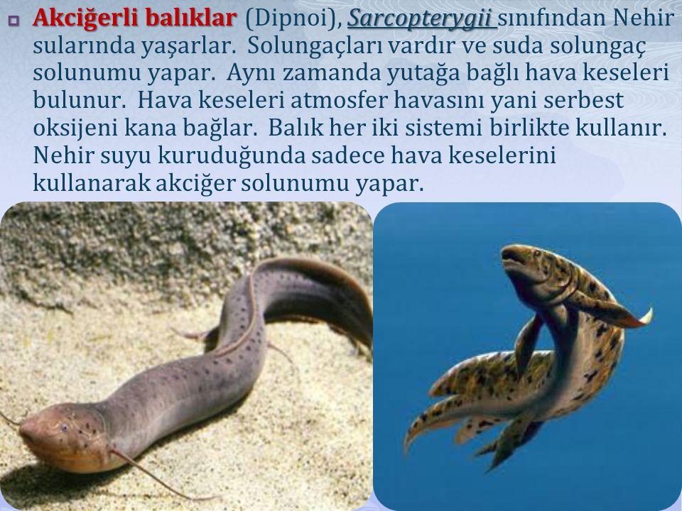  Akciğerli balıklar Sarcopterygii  Akciğerli balıklar (Dipnoi), Sarcopterygii sınıfından Nehir sularında yaşarlar.
