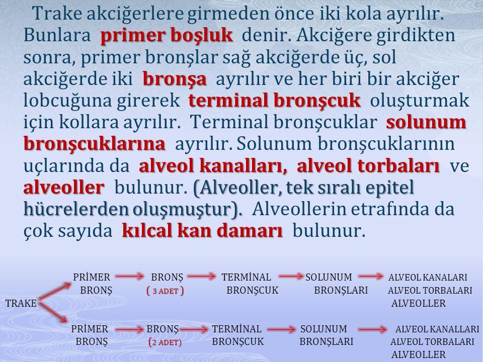 primer boşluk bronşa terminal bronşcuk solunum bronşcuklarına alveol kanalları, alveol torbaları alveoller (Alveoller, tek sıralı epitel hücrelerden oluşmuştur).