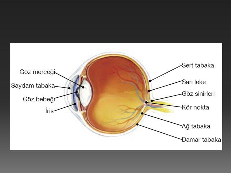  Göz dıştan içe doğru üç tabakadan oluşur.