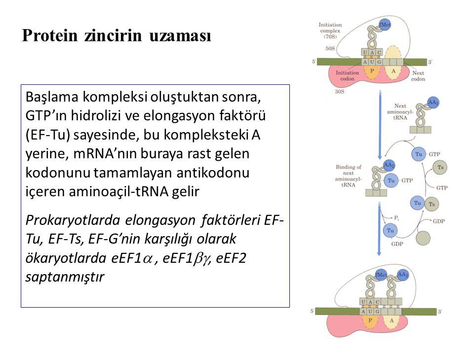 Başlama kompleksi oluştuktan sonra, GTP'ın hidrolizi ve elongasyon faktörü (EF-Tu) sayesinde, bu kompleksteki A yerine, mRNA'nın buraya rast gelen kod