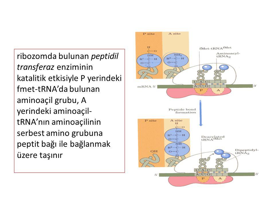 ribozomda bulunan peptidil transferaz enziminin katalitik etkisiyle P yerindeki fmet-tRNA'da bulunan aminoaçil grubu, A yerindeki aminoaçil- tRNA'nın