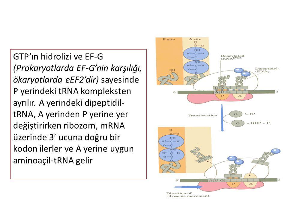 GTP'ın hidrolizi ve EF-G (Prokaryotlarda EF-G'nin karşılığı, ökaryotlarda eEF2'dir) sayesinde P yerindeki tRNA kompleksten ayrılır. A yerindeki dipept