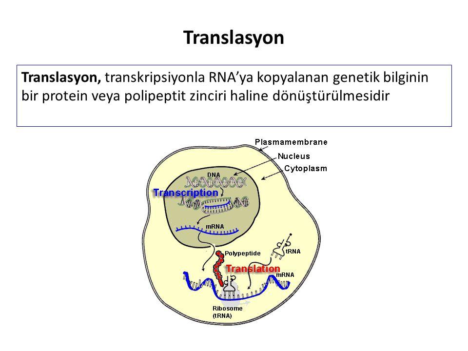 Translasyon, transkripsiyonla RNA'ya kopyalanan genetik bilginin bir protein veya polipeptit zinciri haline dönüştürülmesidir Translasyon
