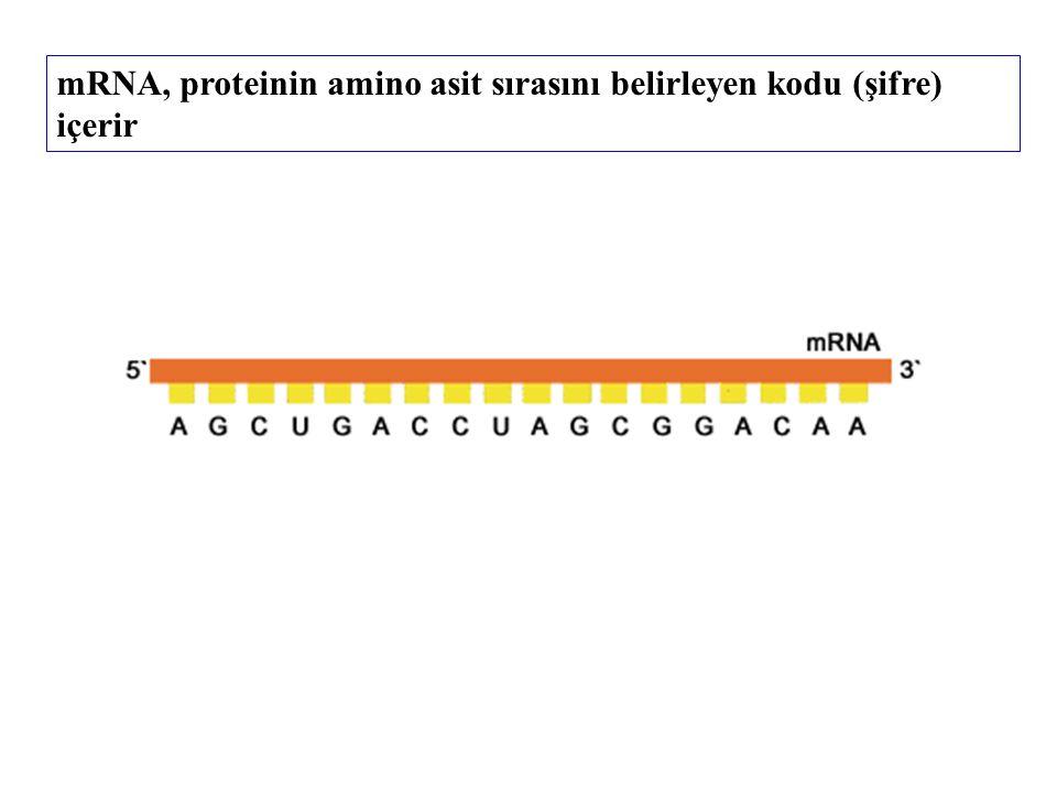 mRNA, proteinin amino asit sırasını belirleyen kodu (şifre) içerir