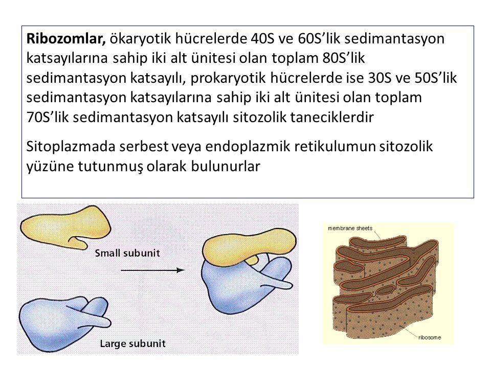 Ribozomlar, ökaryotik hücrelerde 40S ve 60S'lik sedimantasyon katsayılarına sahip iki alt ünitesi olan toplam 80S'lik sedimantasyon katsayılı, prokary
