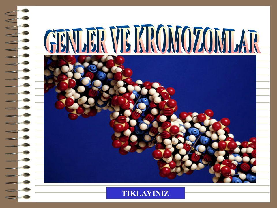 44 otozomlu, 3 X'li yani 47 kromozomlu canlı oluşur.