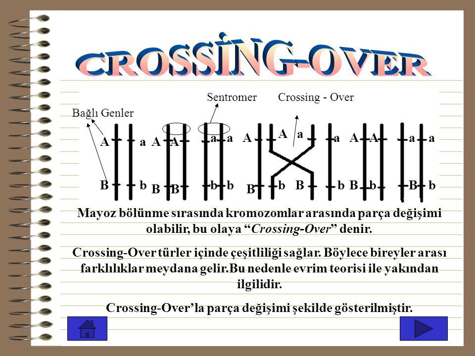 A B a b A B a b A B A a b B a b A B A b a b a B A B a b Sentromer Bağlı Genler Crossing - Over Mayoz bölünme sırasında kromozomlar arasında parça değişimi olabilir, bu olaya Crossing-Over denir.