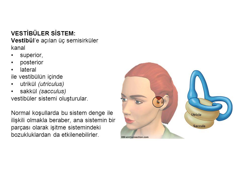 KOKLEA: Kemik labirent'in salyangoz şeklindeki kısmıdır ve iç kulağın primer işitme organını barındırır.