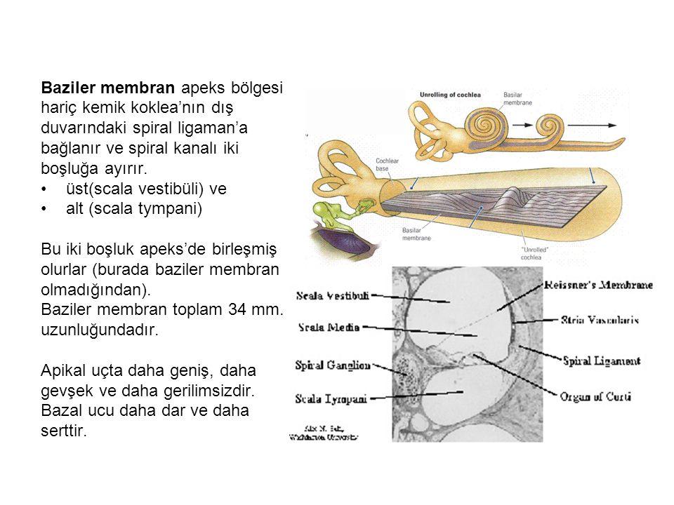 Üst boşluk (scala vestibüli) stapes'in Tabanının oturduğu oval pencere'den (fenestra vestibüli) helicotrema'ya kadar uzanır.