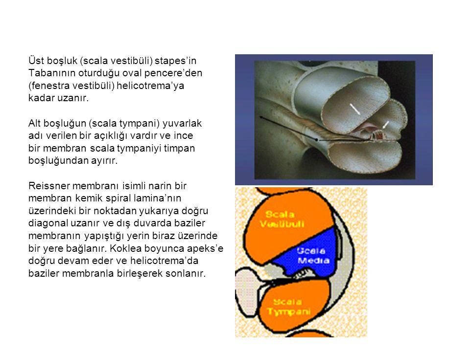 Böylece koklea'nın ortasında tamamen izole bir kanal (kese) oluşur ve koklear kese ya da koklear duktus (scala media) adını alır.