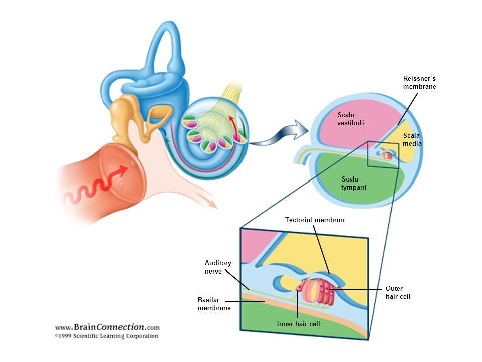 Önemli sensörinöral işitme kaybı İleri deresece bilateral SN işitme kaybı Şiddetli tinnitus Önemli vestibülopati İşitme cihazı Koklear implant.