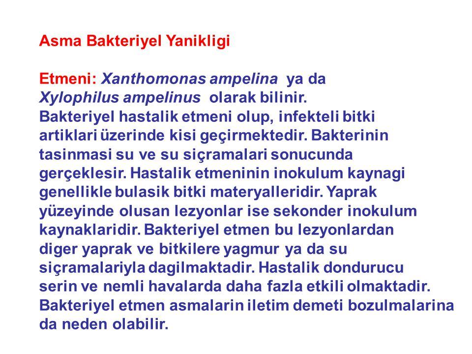 Asma Bakteriyel Yanikligi Etmeni: Xanthomonas ampelina ya da Xylophilus ampelinus olarak bilinir.