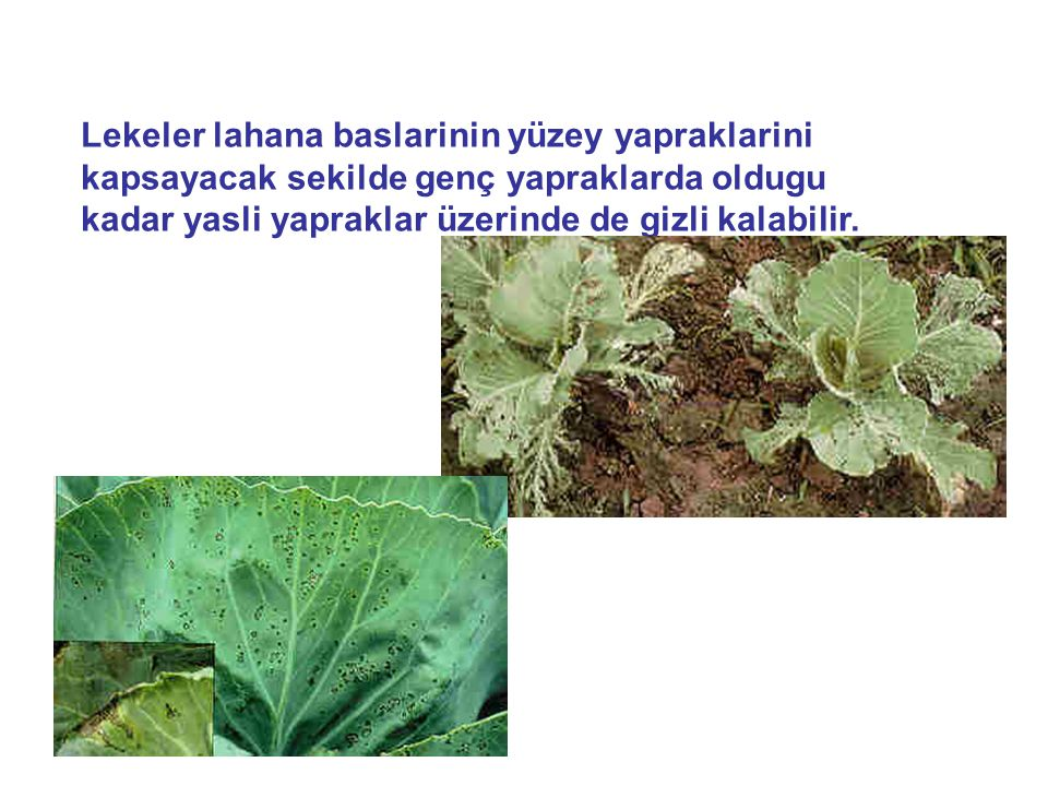 Lekeler lahana baslarinin yüzey yapraklarini kapsayacak sekilde genç yapraklarda oldugu kadar yasli yapraklar üzerinde de gizli kalabilir.