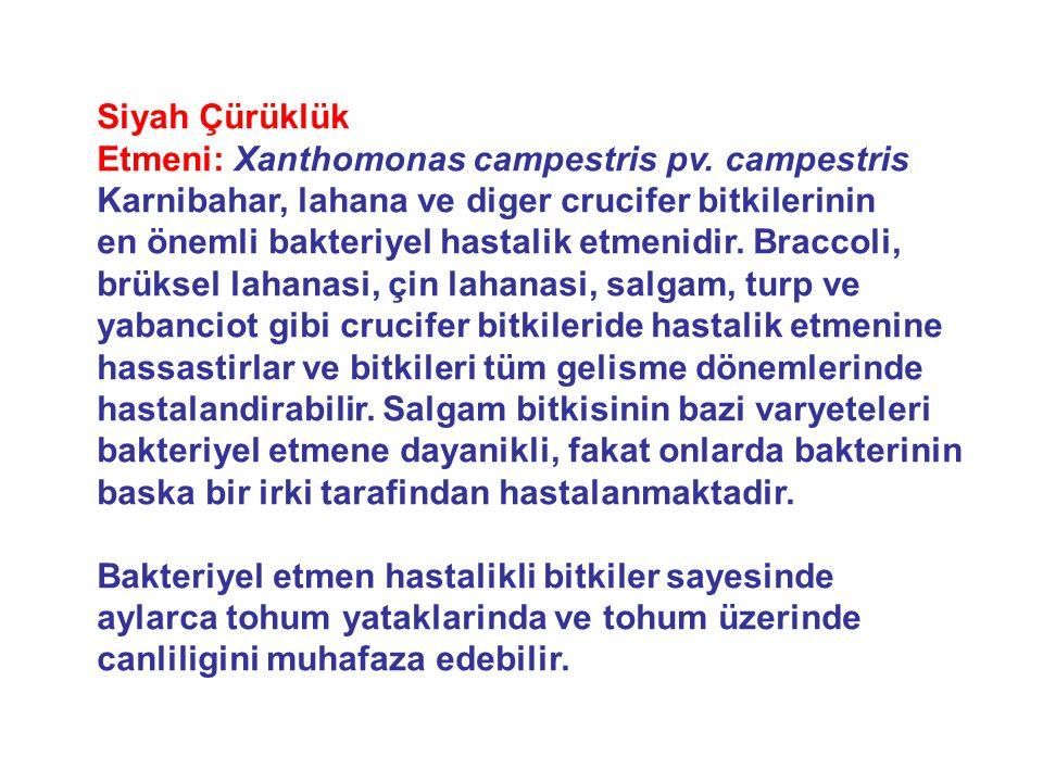 Siyah Çürüklük Etmeni: Xanthomonas campestris pv.