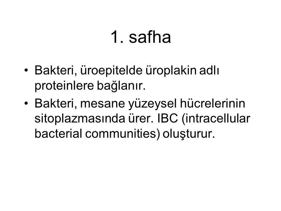 1. safha •Bakteri, üroepitelde üroplakin adlı proteinlere bağlanır. •Bakteri, mesane yüzeysel hücrelerinin sitoplazmasında ürer. IBC (intracellular ba