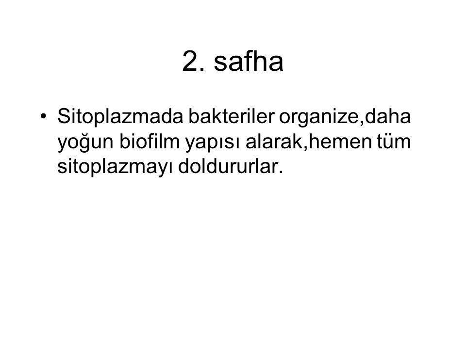 2. safha •Sitoplazmada bakteriler organize,daha yoğun biofilm yapısı alarak,hemen tüm sitoplazmayı doldururlar.
