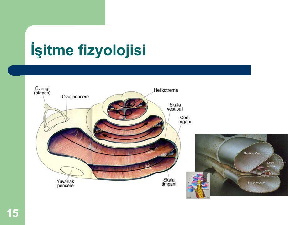 İşitme fizyolojisi 15