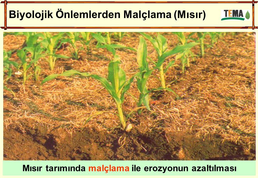 Biyolojik Önlemlerden Malçlama (Mısır) Mısır tarımında malçlama ile erozyonun azaltılması