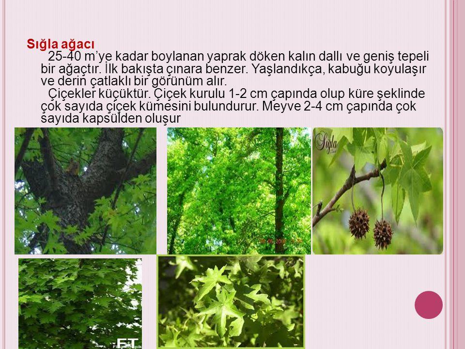 Sığla ağacı 25-40 m'ye kadar boylanan yaprak döken kalın dallı ve geniş tepeli bir ağaçtır. İlk bakışta çınara benzer. Yaşlandıkça, kabuğu koyulaşır v