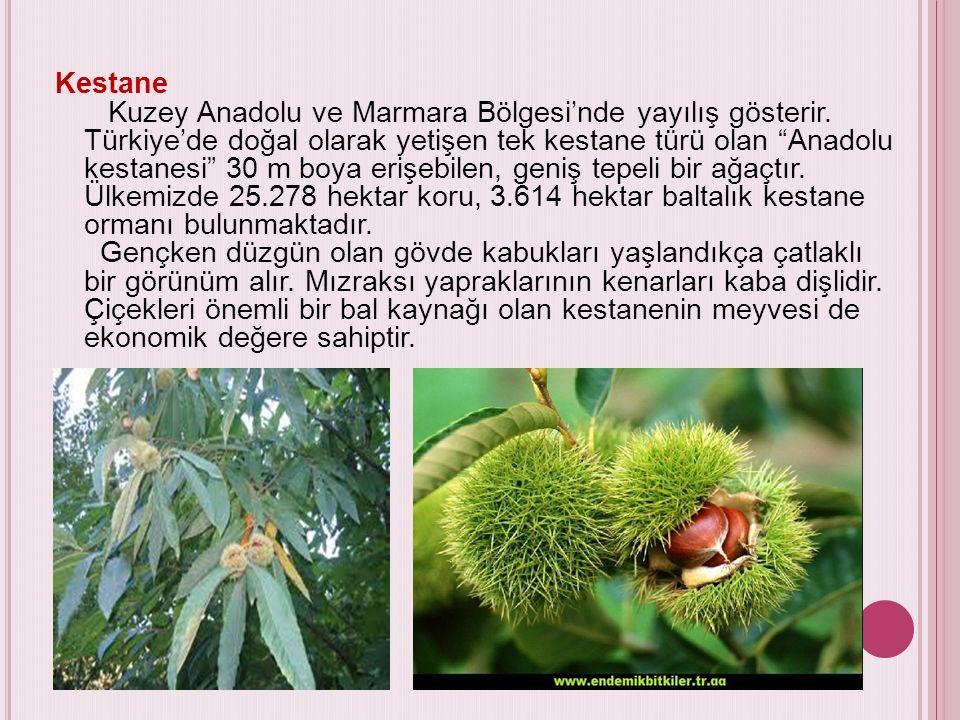 """Kestane Kuzey Anadolu ve Marmara Bölgesi'nde yayılış gösterir. Türkiye'de doğal olarak yetişen tek kestane türü olan """"Anadolu kestanesi"""" 30 m boya eri"""