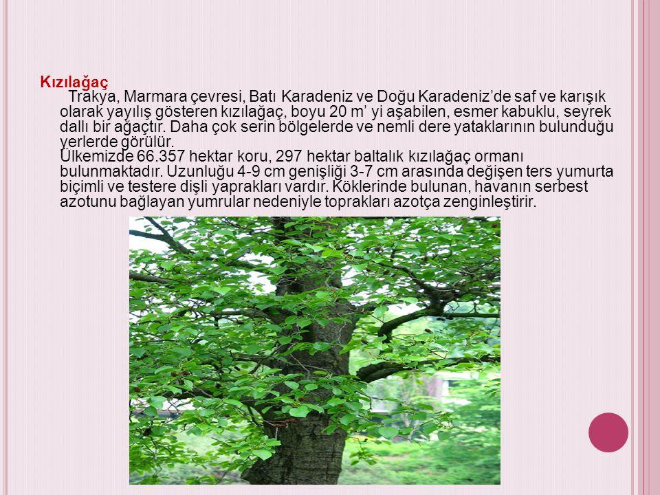 Kızılağaç Trakya, Marmara çevresi, Batı Karadeniz ve Doğu Karadeniz'de saf ve karışık olarak yayılış gösteren kızılağaç, boyu 20 m' yi aşabilen, esmer