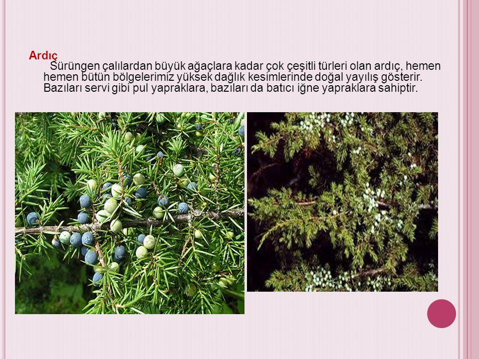 Ardıç Sürüngen çalılardan büyük ağaçlara kadar çok çeşitli türleri olan ardıç, hemen hemen bütün bölgelerimiz yüksek dağlık kesimlerinde doğal yayılış