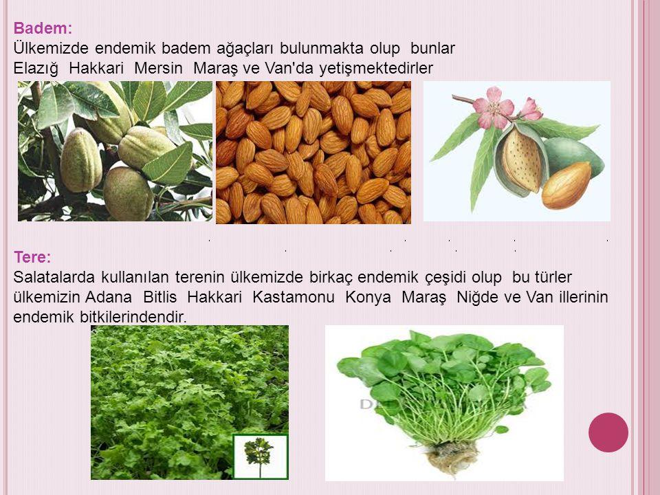 Badem: Ülkemizde endemik badem ağaçları bulunmakta olup bunlar Elazığ Hakkari Mersin Maraş ve Van'da yetişmektedirler Tere: Salatalarda kullanılan ter