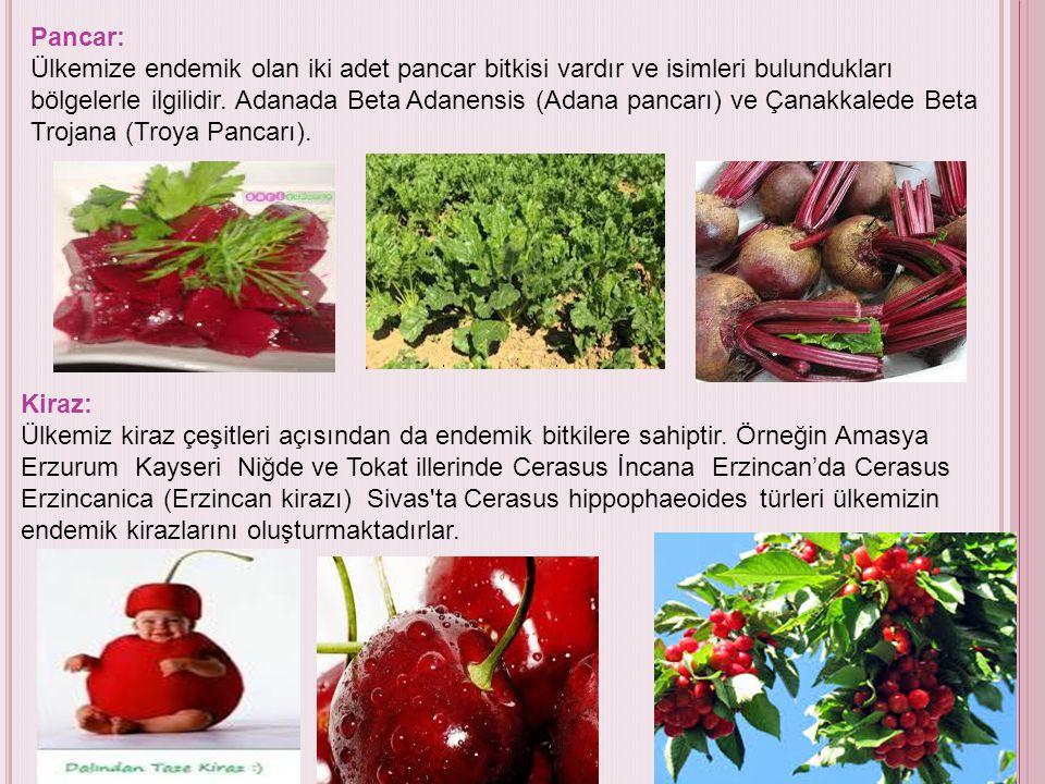 Pancar: Ülkemize endemik olan iki adet pancar bitkisi vardır ve isimleri bulundukları bölgelerle ilgilidir. Adanada Beta Adanensis (Adana pancarı) ve