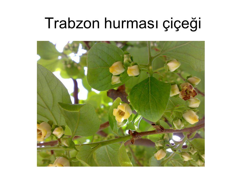 Trabzon hurması çiçeği
