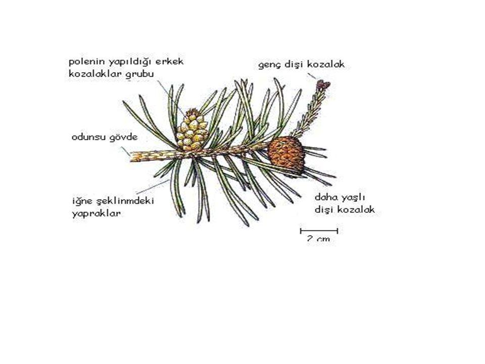 •Bitkinin çiçeğinde: çanak yaprak,taç yaprak,erkek ve dişi organ varsa bu çiçeğe tam çiçek(erselik) denir.