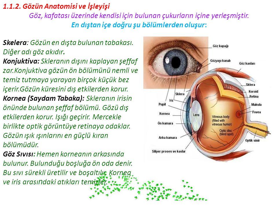 1.1.2. Gözün Anatomisi ve İşleyişi Göz, kafatası üzerinde kendisi için bulunan çukurların içine yerleşmiştir. En dıştan içe doğru şu bölümlerden oluşu