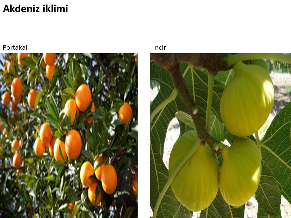 Akdeniz iklimi Portakalİncir