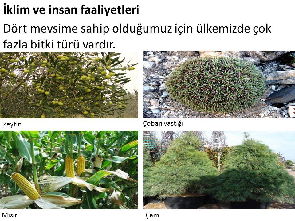 İklim ve insan faaliyetleri Dört mevsime sahip olduğumuz için ülkemizde çok fazla bitki türü vardır. Zeytin Çoban yastığı MısırÇam