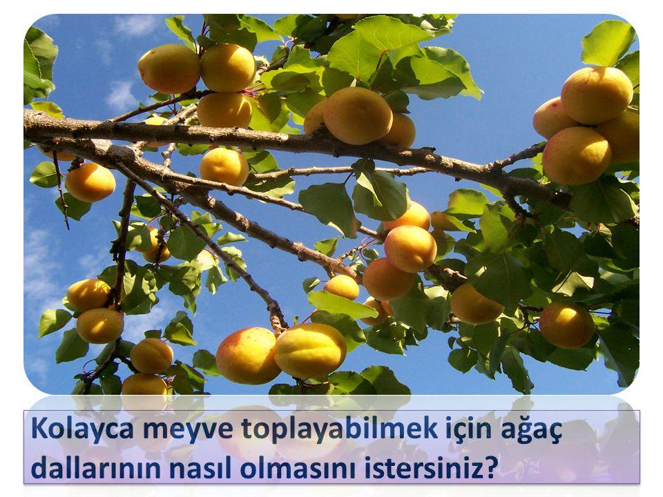 Kolayca meyve toplayabilmek için ağaç dallarının nasıl olmasını istersiniz?