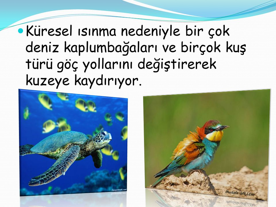  Küresel ısınma nedeniyle bir çok deniz kaplumbağaları ve birçok kuş türü göç yollarını değiştirerek kuzeye kaydırıyor.