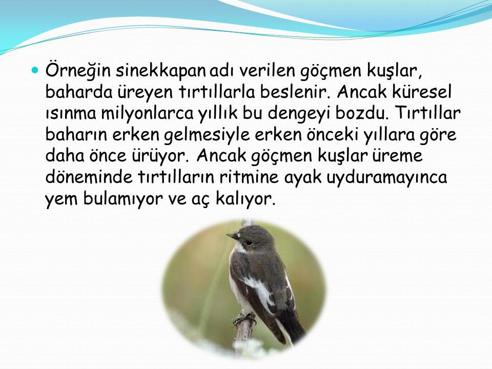  Örneğin sinekkapan adı verilen göçmen kuşlar, baharda üreyen tırtıllarla beslenir. Ancak küresel ısınma milyonlarca yıllık bu dengeyi bozdu. Tırtıll