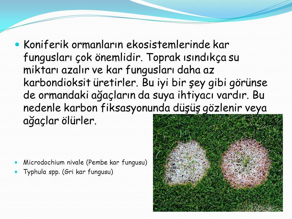  Koniferik ormanların ekosistemlerinde kar fungusları çok önemlidir. Toprak ısındıkça su miktarı azalır ve kar fungusları daha az karbondioksit üreti