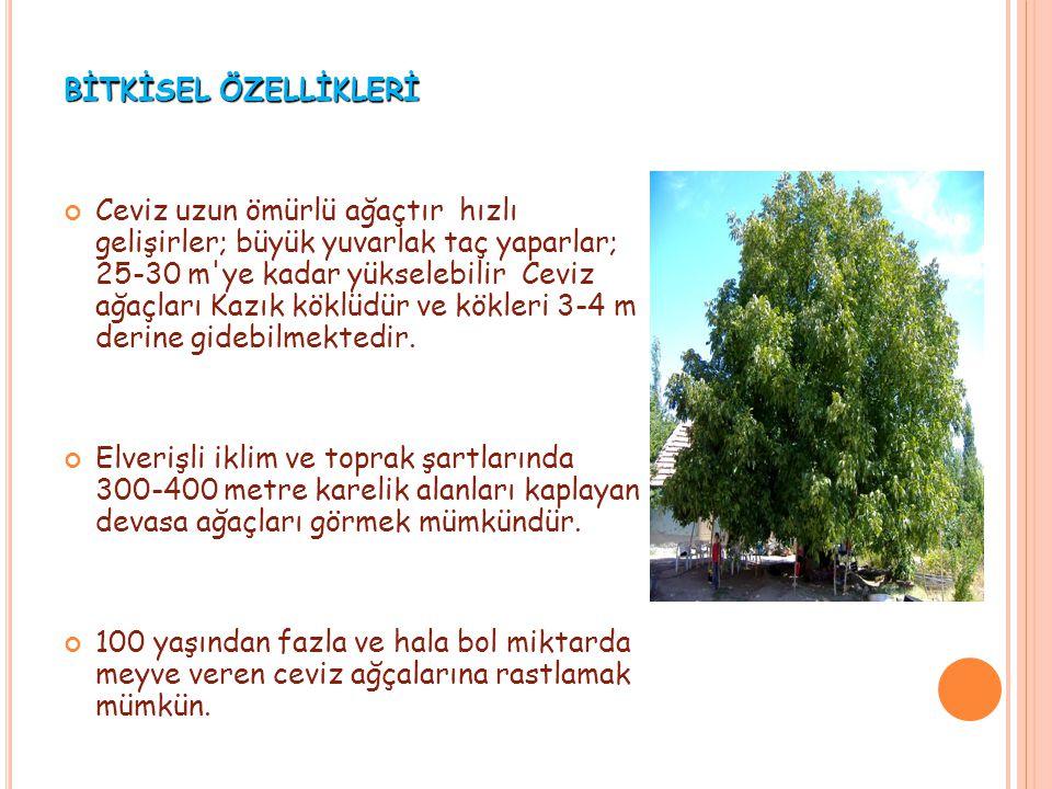 BİTKİSEL ÖZELLİKLERİ Ceviz uzun ömürlü ağaçtır hızlı gelişirler; büyük yuvarlak taç yaparlar; 25-30 m'ye kadar yükselebilir Ceviz ağaçları Kazık köklü