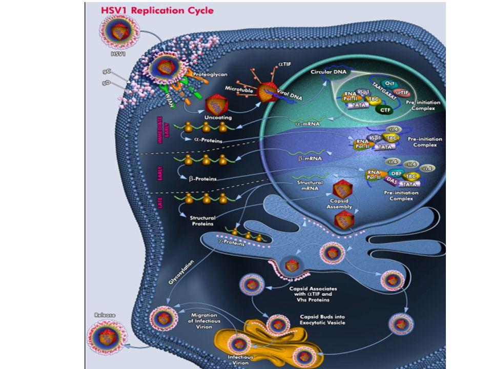Herpes Simpleks Virus (HSV) Primer enfeksiyon • Asemptomatik • Gingivostomatit • Genital herpes • Herpetik dolama • Göz enfeksiyonları • …………………