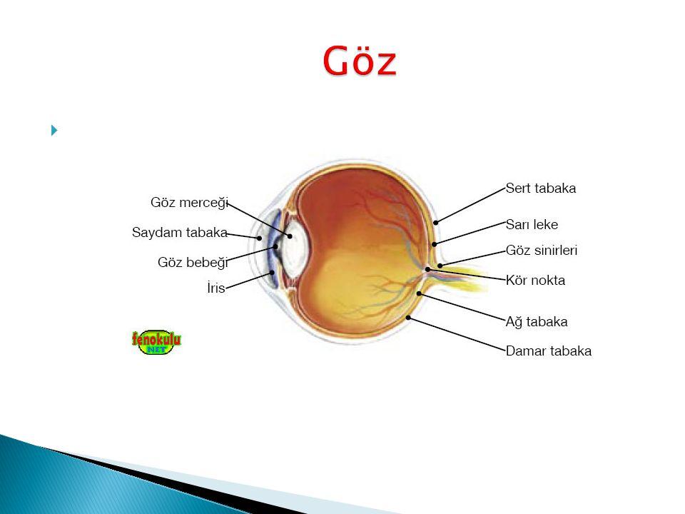  Göz, çevremizden aldığı ışık sayesinde görmemizi sağlayan duyu organımızdır.
