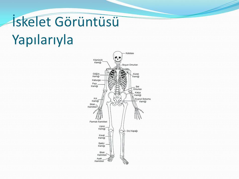 Kemik Çeşitleri  Uzun kemikler : İki ucu şişkin,boyları uzun,silindirik şekili kemiklerdir.