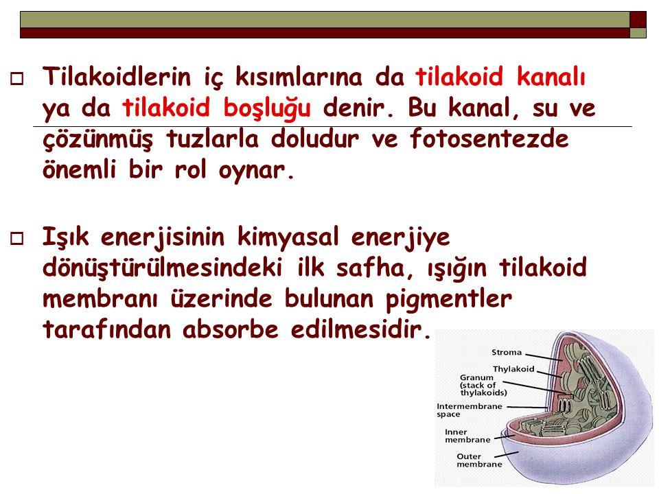  Tilakoidlerin iç kısımlarına da tilakoid kanalı ya da tilakoid boşluğu denir. Bu kanal, su ve çözünmüş tuzlarla doludur ve fotosentezde önemli bir r