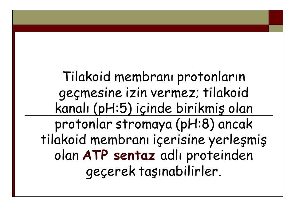 Tilakoid membranı protonların geçmesine izin vermez; tilakoid kanalı (pH:5) içinde birikmiş olan protonlar stromaya (pH:8) ancak tilakoid membranı içe