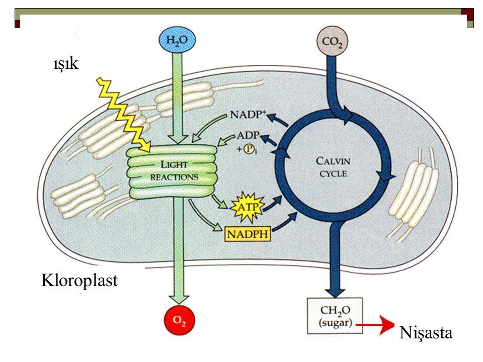 C4 Bitkilerinin Fotosentez Üstünlüğü  RUBISCO ribuloz 1,5-bisfosfatı hem O 2 hem de CO 2 ile reaksiyona sokabilir.