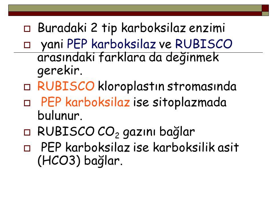  Buradaki 2 tip karboksilaz enzimi  yani PEP karboksilaz ve RUBISCO arasındaki farklara da değinmek gerekir.  RUBISCO kloroplastın stromasında  PE